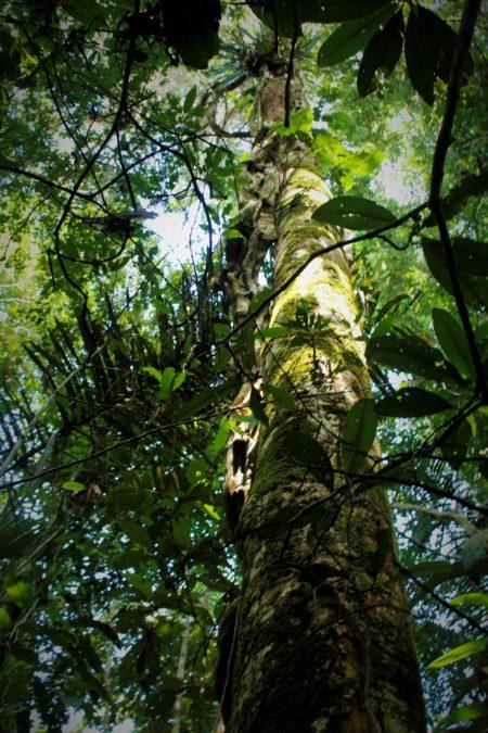 Dosel del bosque en el Área de Conservación Maijuna. Foto de Silvia Aguado.